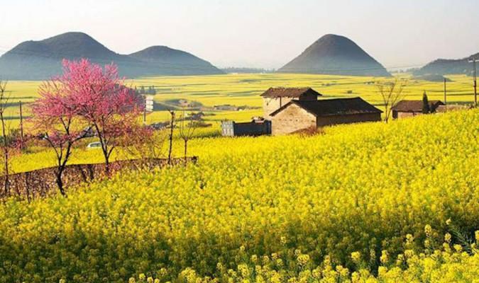 """Khám phá """"thiên đường"""" hoa cải dầu rực rỡ ở Trung Quốc"""